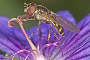 Carleton Researchers Make Discovery About Mimicry in Flies