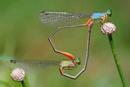 Read more about: Carleton Researcher Discovers Age Doesn't Dull Damselfly Sex