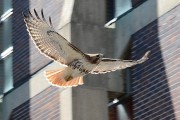 """Rita the red-tailed hawk"" Spotted on Campus"