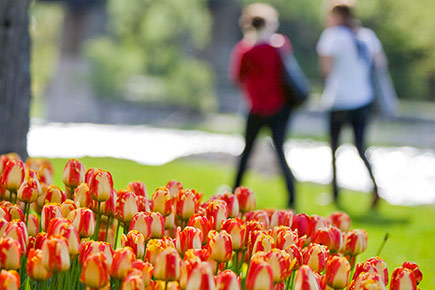 Tulips grow next to the Rideau River during spring