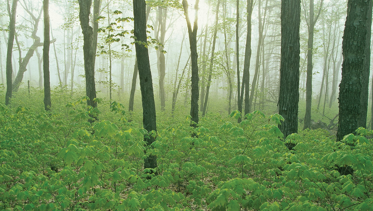 A thinly treed forest at dawn with green ground cover on the floor.
