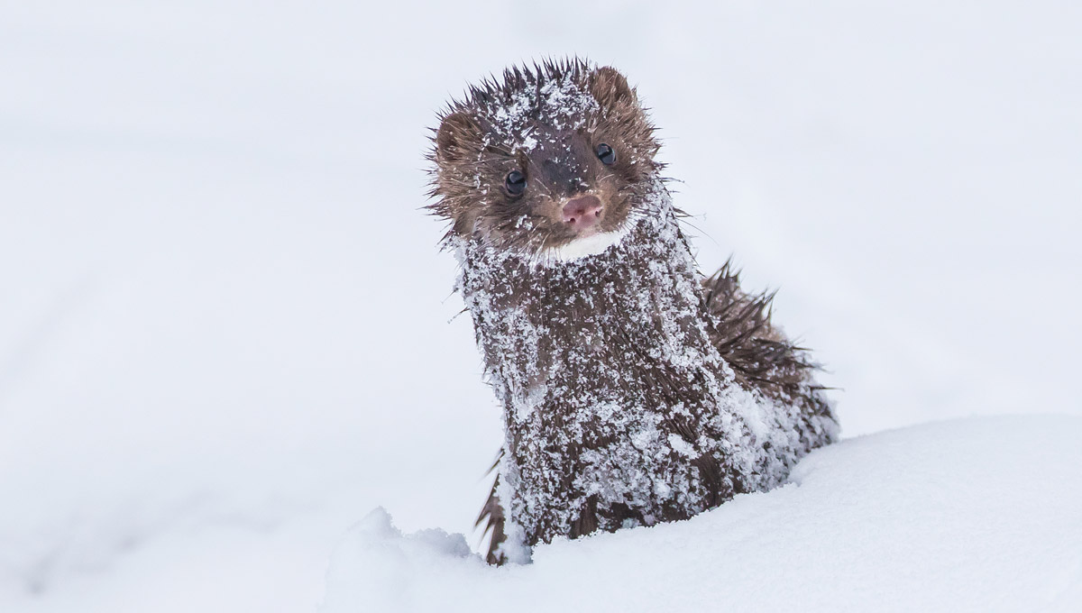 A fur-covered mammal peaks out of the snow.