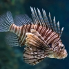 Photo of Clay Steell work on the invasive Lionfish is featured in the Miami Herald.