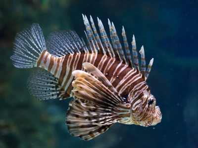 Photo for the news post: New Study from Carleton University Shows Warming Ocean Boosts Invasive Lionfish Appetite