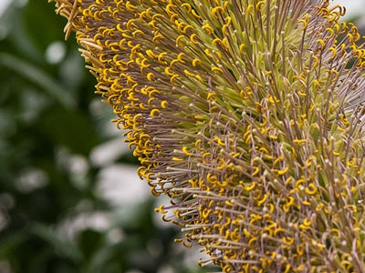 Photo for the news post: Rare Agave Bloom Taking Place at Carleton's Greenhouse