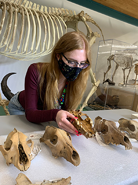 Zoe Landry with gray wolf skulls studied for the research project.