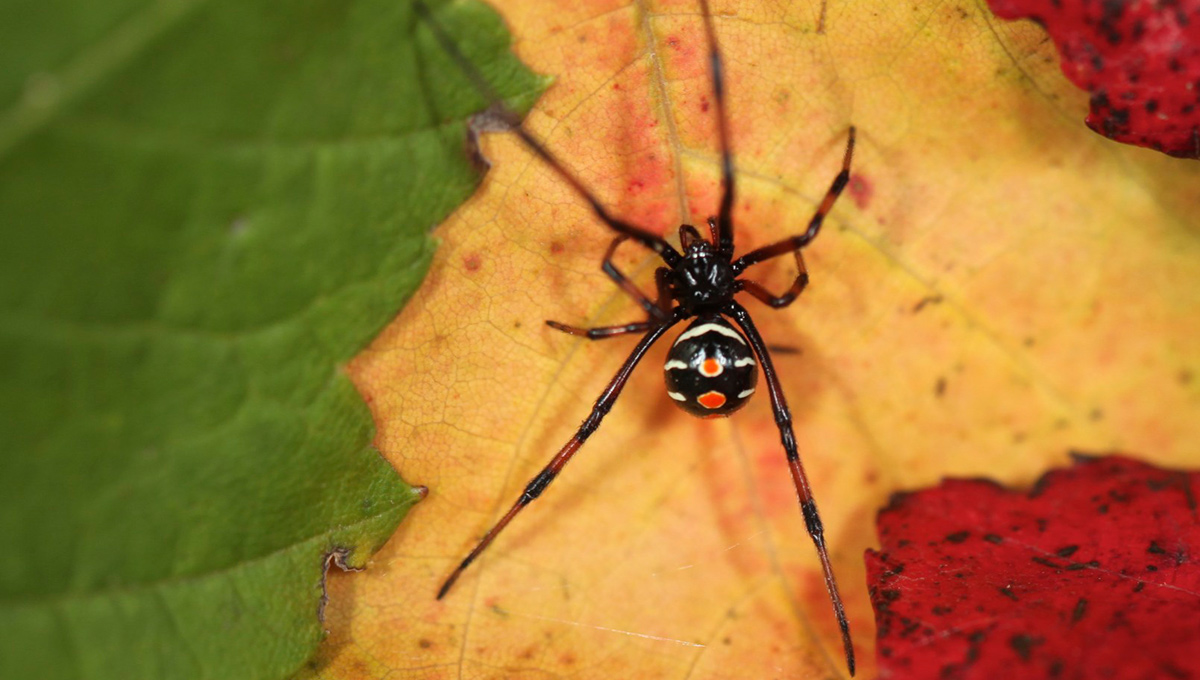 A Northern Black Widow Spider (Latrodectus variolus)