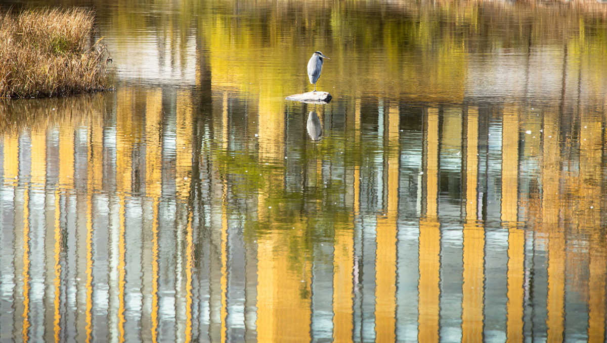 A Great Blue Heron on the Rideau River near Carleton's ARISE Building. Photo by Chris Cline.