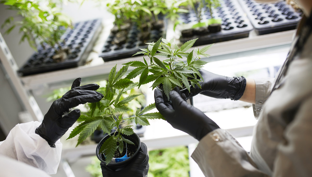 Lab operators wearing gloves and lab coats hold canabis plants in a nursery.