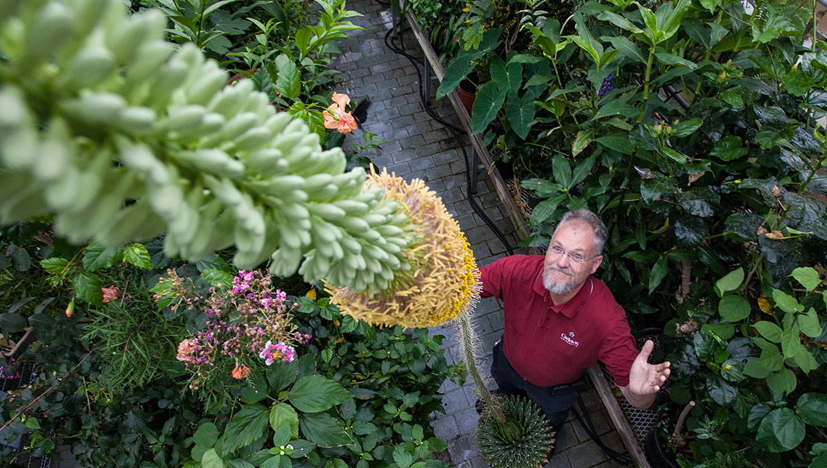 Agave - Colossal Carleton Blossom Astounds Biologists