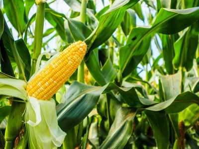 Photo for the news post: Enzyme Discovery Will Decrease Dangerous Toxins in Corn Production
