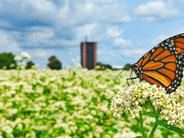 A photo of an orange and black butterfly sitting on a flower, with Dunton Tower visible in the distance.