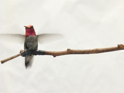 Photo for the news post: Understanding Hummingbird Behaviour and Evolution