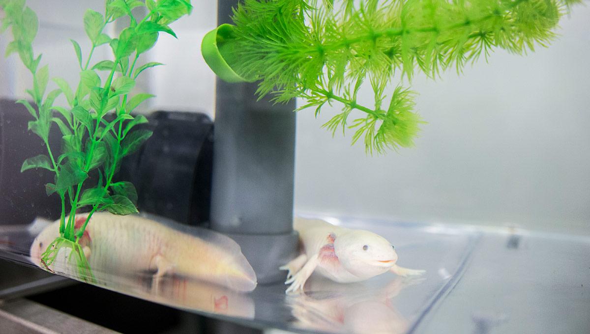 Glowing Salamanders Shine Light on Evolution