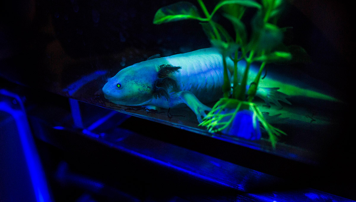 Glowing Salamanders Shine Light on Evolution