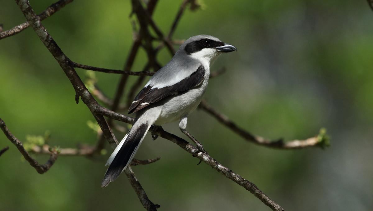 A Loggerhead Shrike sitting on a branch, an example of a species in need of protection with through biodiversity efforts