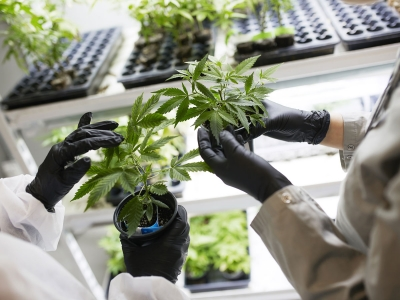 Photo for the news post: Improving Medical Marijuana