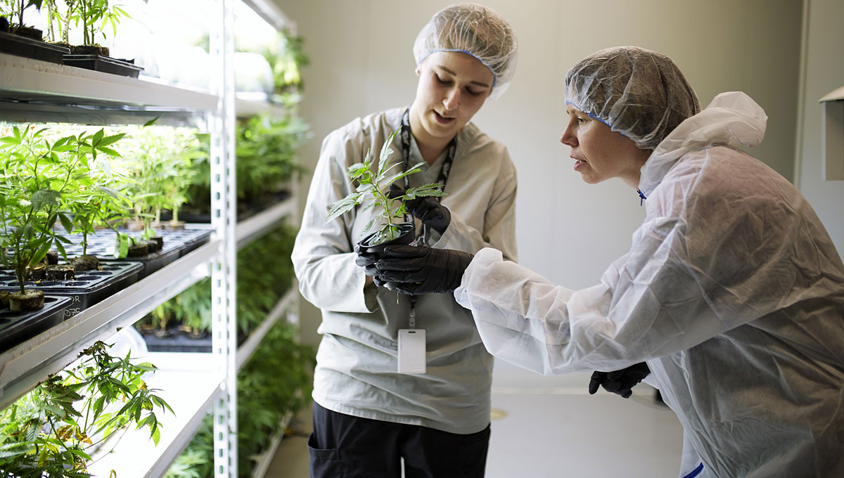 Improving Medical Marijuana: Leaves are examined in a lab