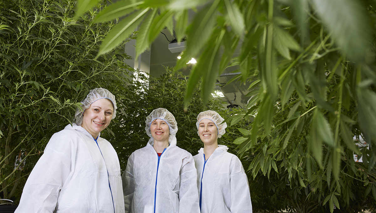 Improving Medical Marijuana: Carleton Biology Prof. Shelley Hepworth and her team