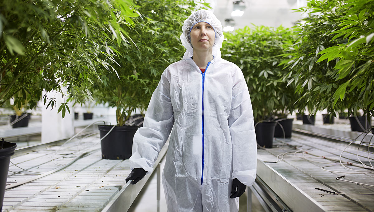 Improving Medical Marijuana: Carleton Biology Prof. Shelley Hepworth