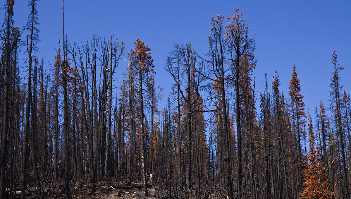 Burnt pine forest in the Chilcotin, British Columbia, previously afflicted with pine beetle (iStockPhoto)