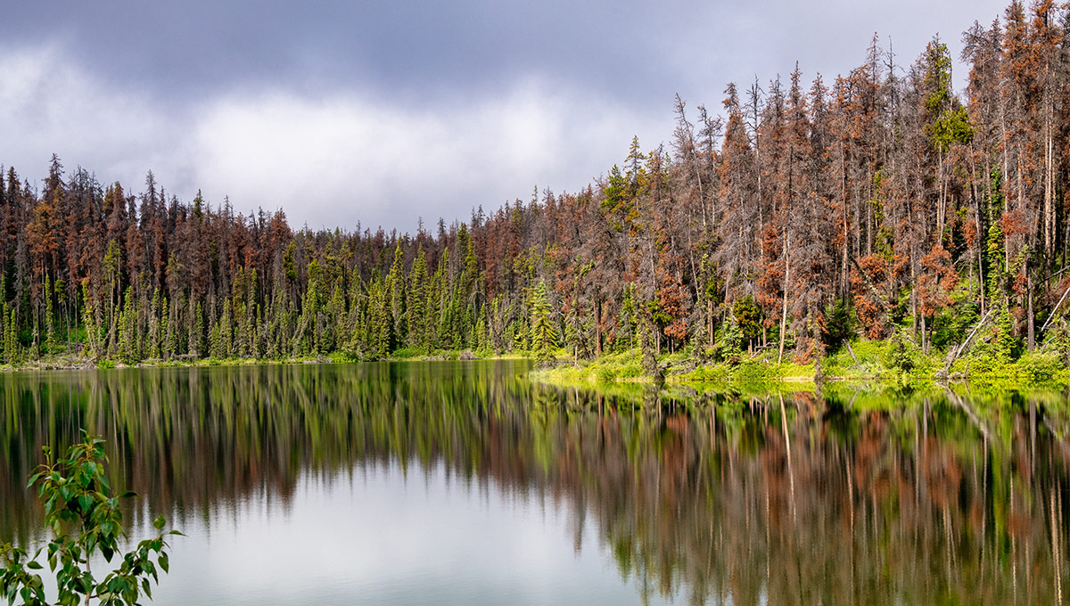 The mountain pine beetle effect on trees in Jasper National Park