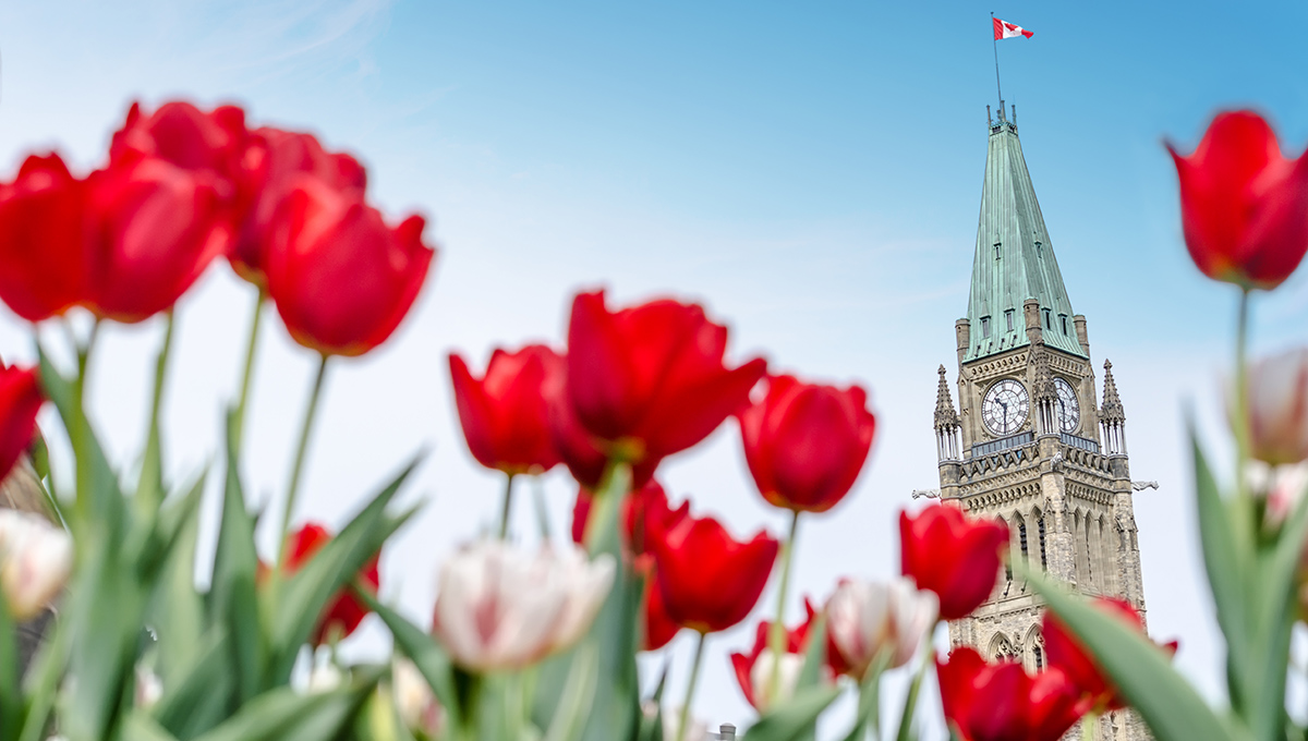The Peace Tower of the Parliament of Canada with red blurred tulips in the foreground, in Ottawa, during Canadian Tulip Festival (2016)