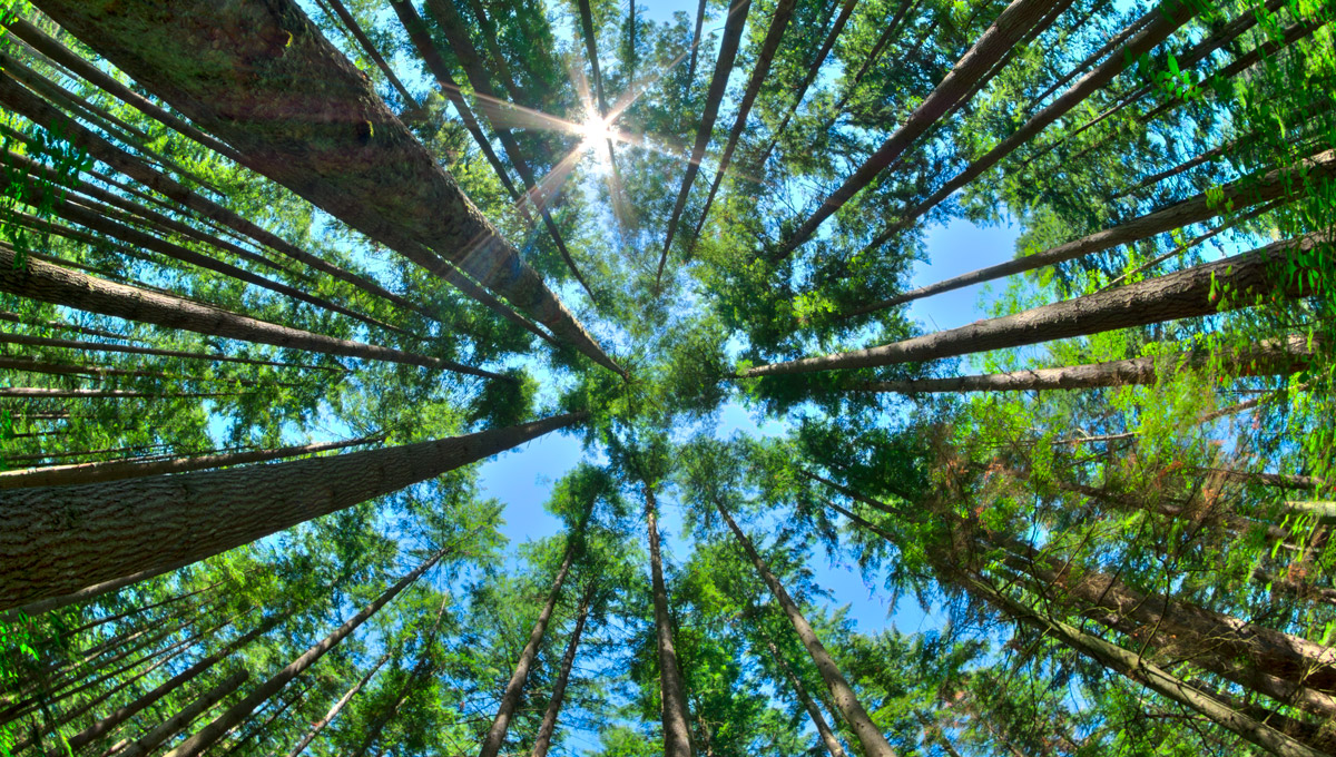 An upward view of a dense pine forest with a blue sky above.