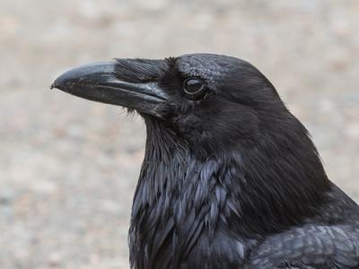 Photo for the news post: Raven Magazine Takes Flight