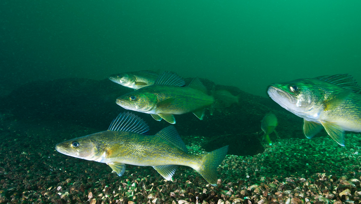 Walleye fish underwater in the St-Lawrence