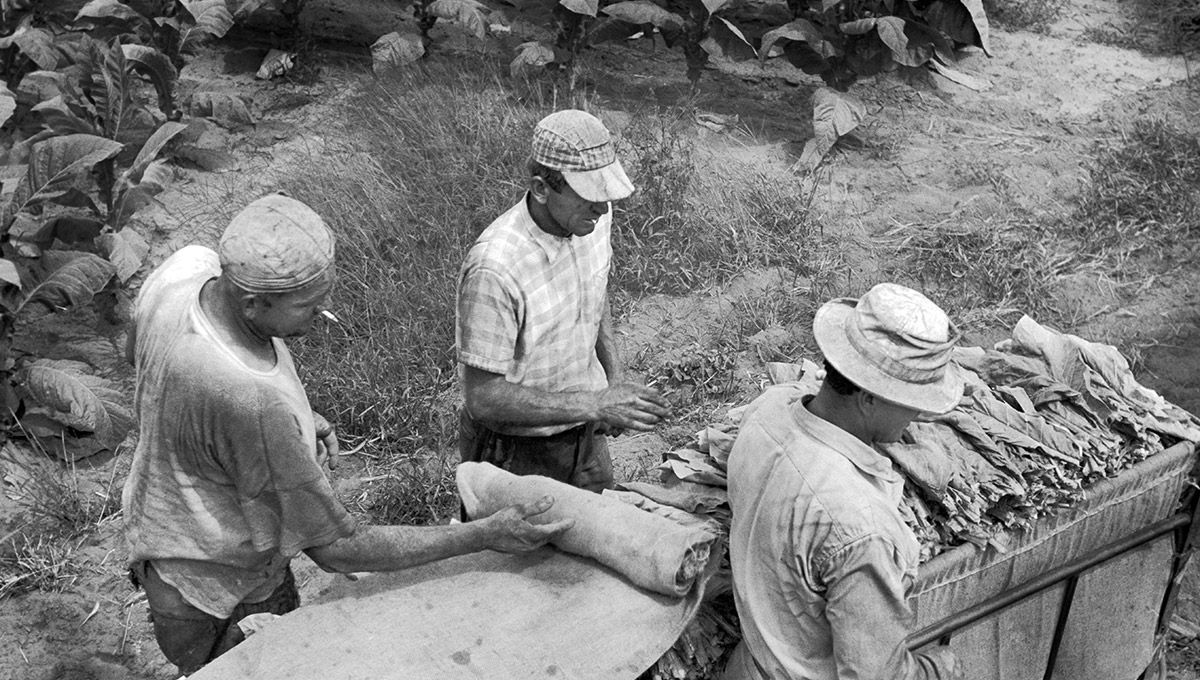 High angle view of three tobacco workers having just finished loading leaves into a tobacco sled, Delhi, Ontario, Canada, August 1959, National Film Board of Canada.
