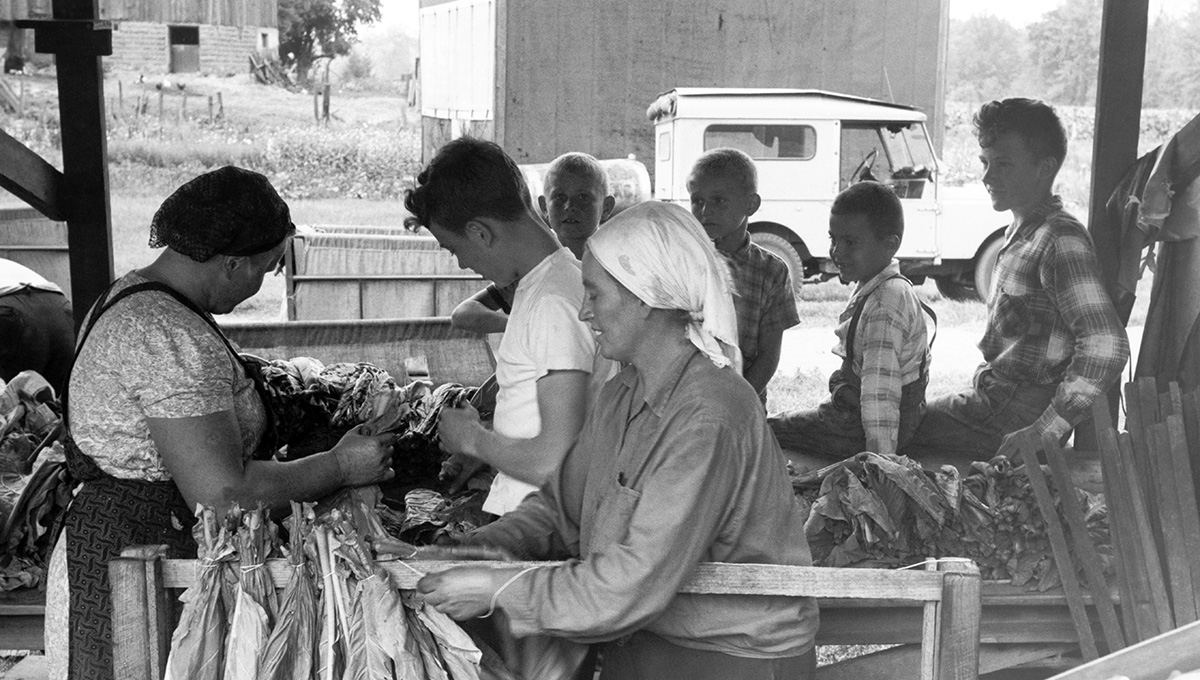 View of several farm workers tying tobacco leaves on sticks with twine before sending them to dry in one of the curing barns, Delhi, Ontario, Canada, August 1959, National Film Board of Canada.