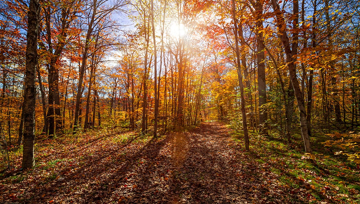 Sun shining through colorful leaves of autumn trees in fall forest and hiking trail at Algonquin Park, Ontario,