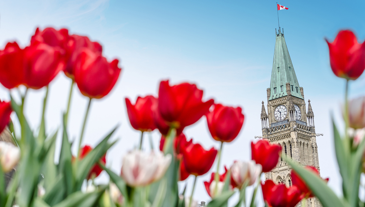 The Peace Tower of the Parliament of Canada with red blurred tulips in the foreground, in Ottawa